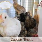 Backyard Chicken Fodder: Caption This….