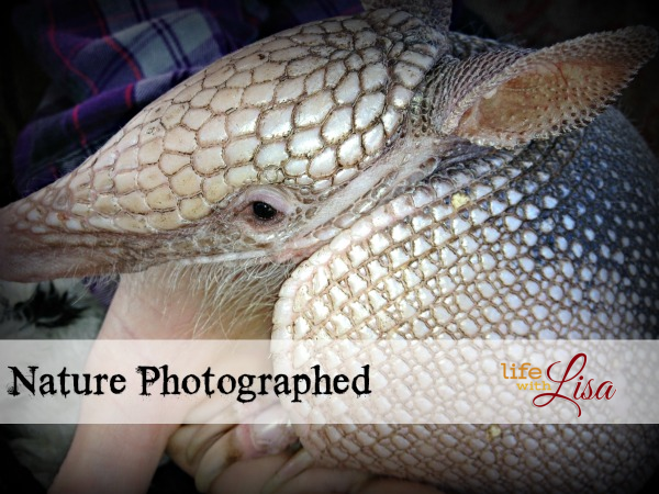 nature photographed armadillo