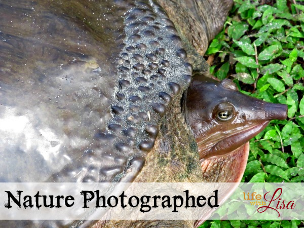 nature photographed soft shell turtle