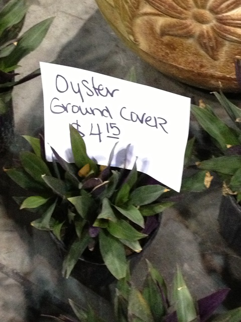 Oyster-Ground-Cover