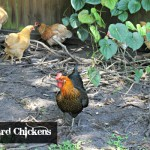 Backyard Chickens Love – The Eggs