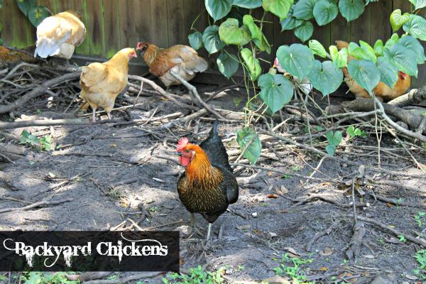 Backyard Chickens Love - The Eggs