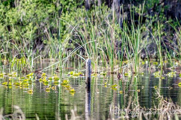 alligator lake-1-6